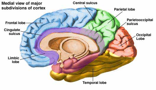 cerebral cortex   Medical Pictures Info - Health ...