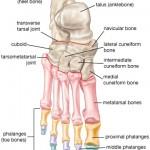Calcaneus Bone