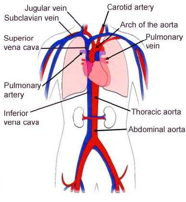 simple cardiovascular system diagram | Diarra