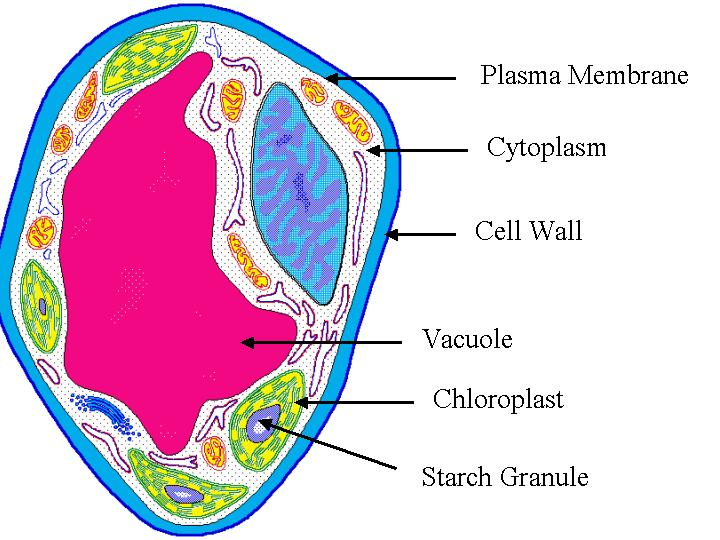 medical pictures info � cell wall