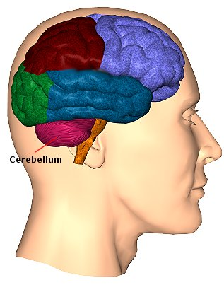 cerebellum  function