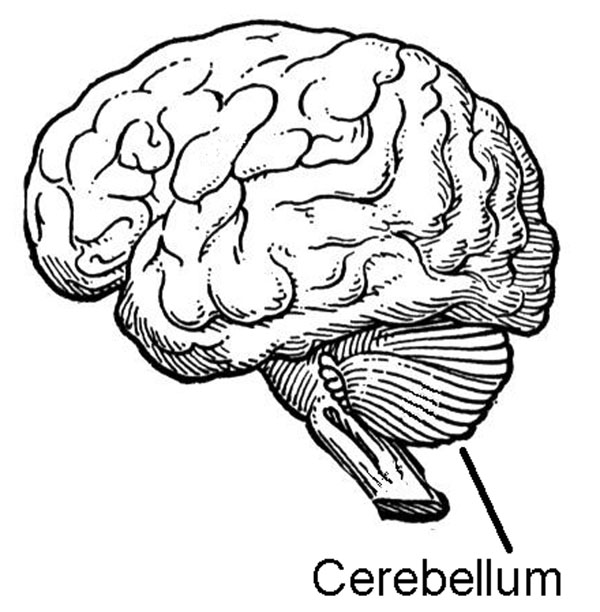 medical pictures info  u2013 cerebellum