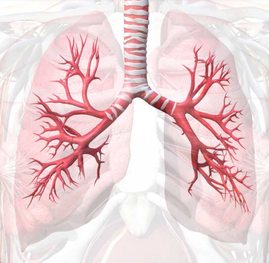 medical pictures info  u2013 bronchial tree
