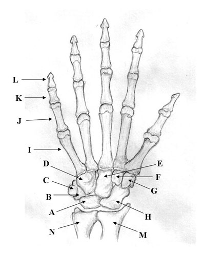 Medical Pictures Info – Hand Bones