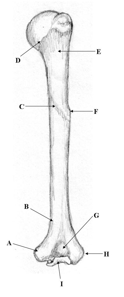 medical pictures info  u2013 humerus