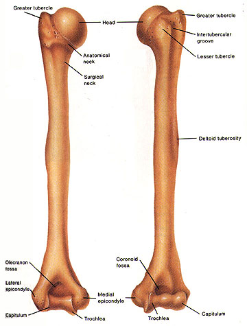 Humerus in addition 1635239 furthermore Ganglions Of The Wrist moreover Foot Surface Anatomy further Page 03. on dorsal pulse