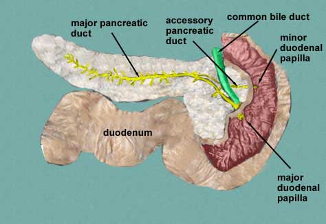 Medical Pictures Info – Vater's Ampulla