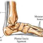 Calcaneus Bone