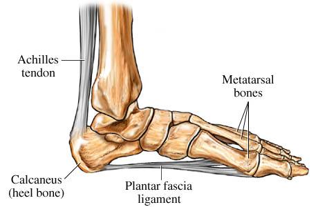 Medical Pictures Info     Calcaneus Bone