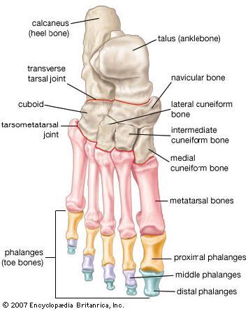 Medical Pictures Info ndash Calcaneus Bone