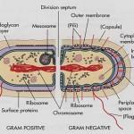 Gram Negative Bacterium
