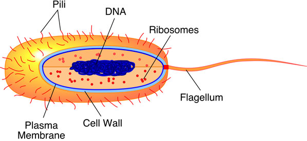 diagram of a cell membrane medical pictures info ndash prokaryotic