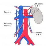 Renal veins
