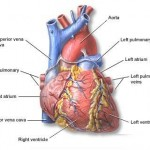 Coronary Artery